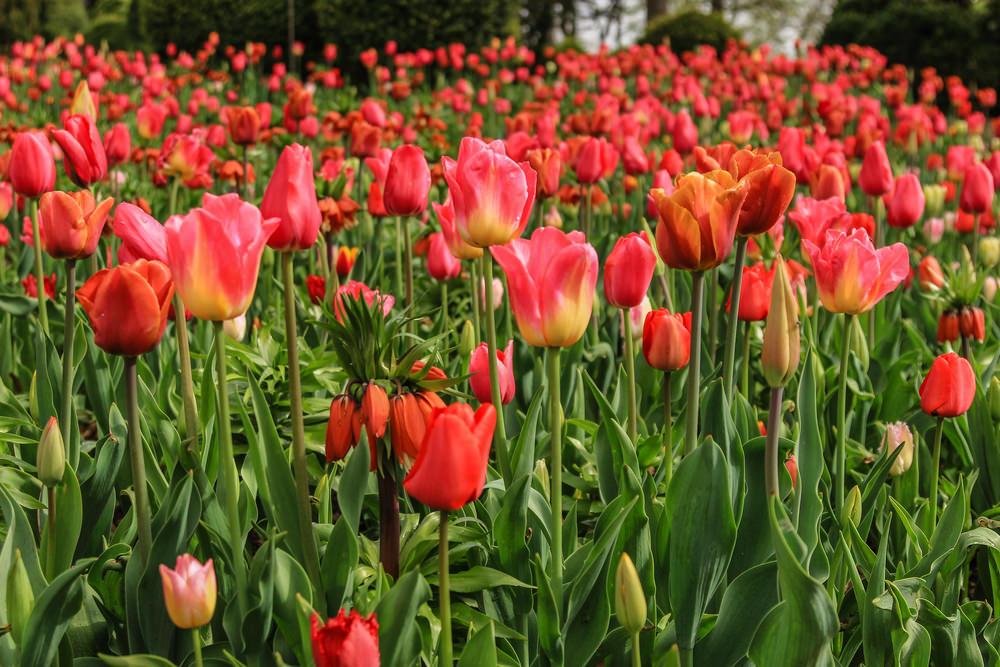 Fioritura tulipani al Sigurtà