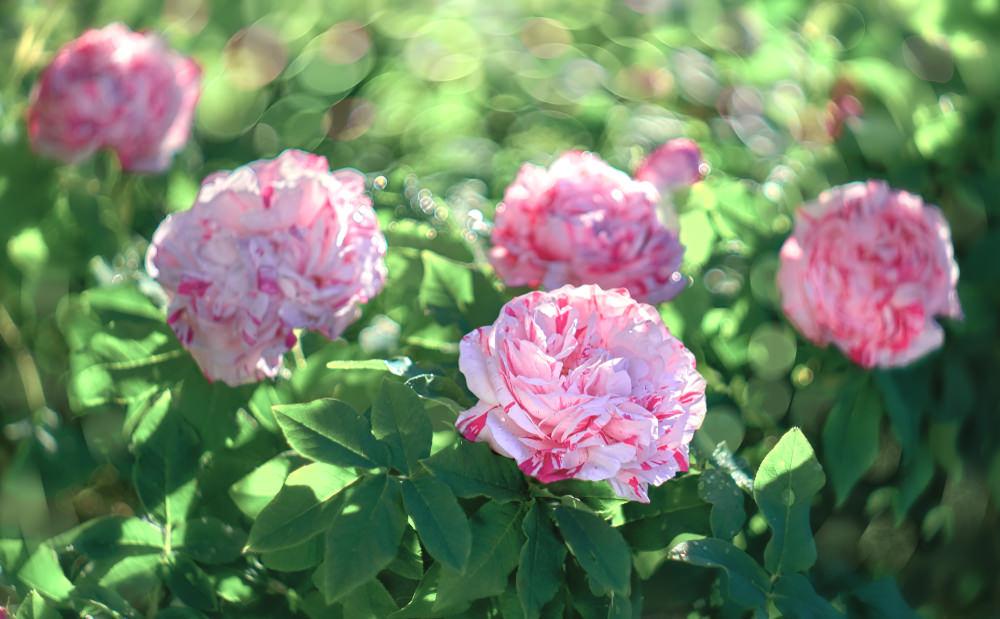 Valle Scrivia, rose
